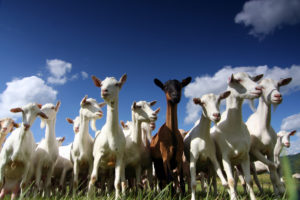 Line of Goats