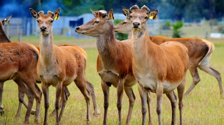 Group of domestic deers in New Zealand